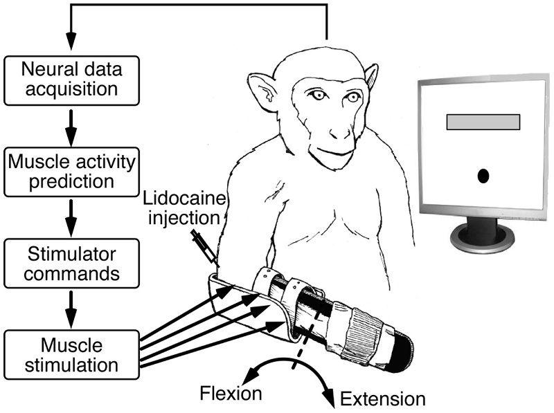 Brain stimulation monkey