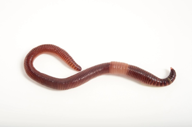 Earthworm pic
