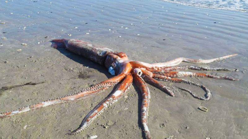 Giant squid africa