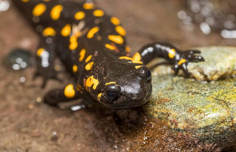 Salamander yellow