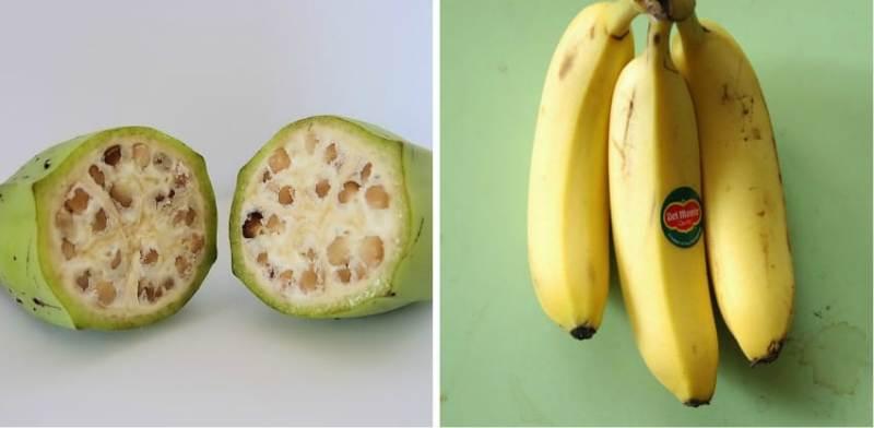 Banana GMO