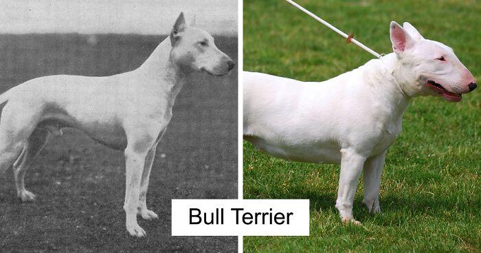 Bull terrier selective breeding