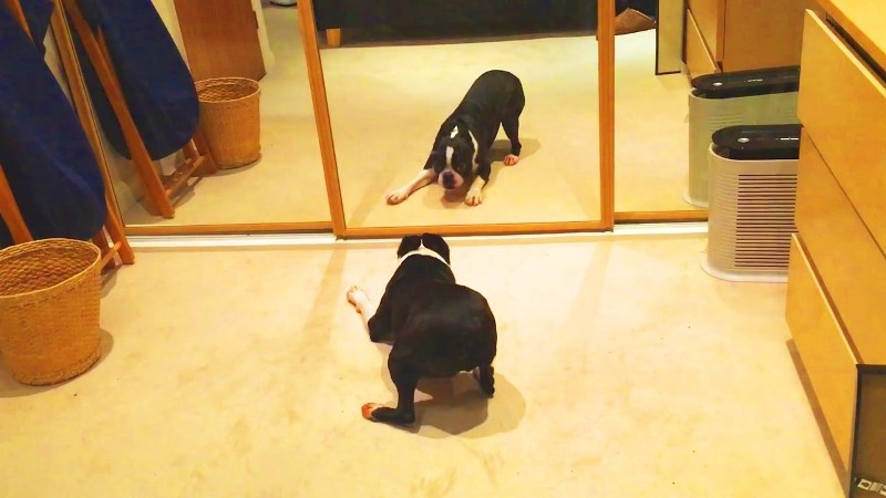 Dog in front of mirror