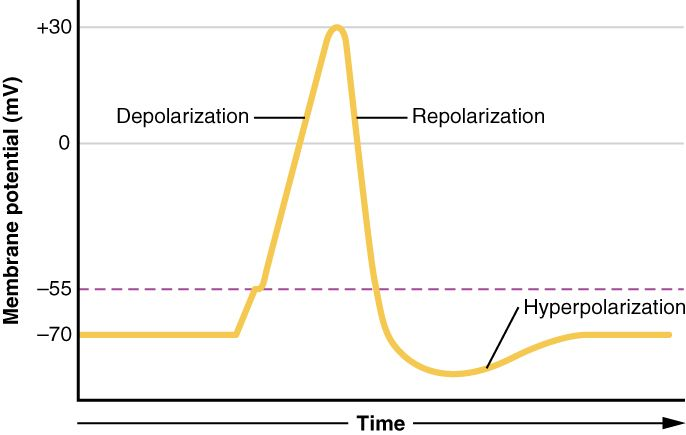 Graph neuron polarization