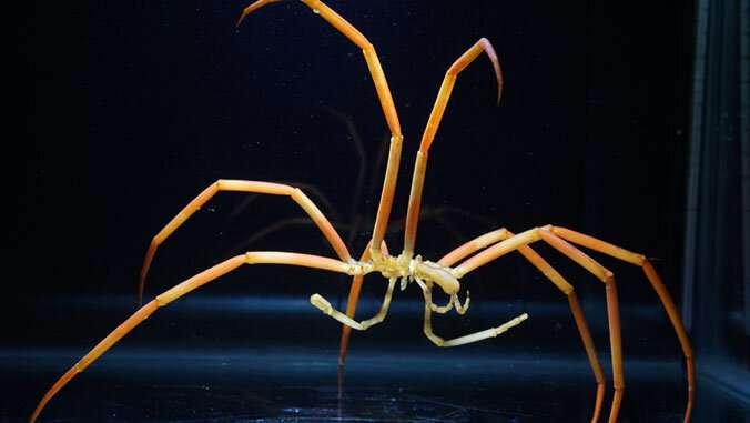 Sea spider Antarctica