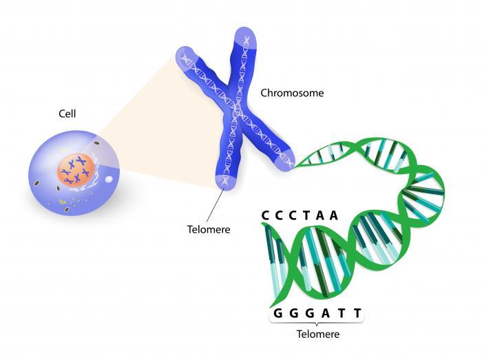 Telomeres aging